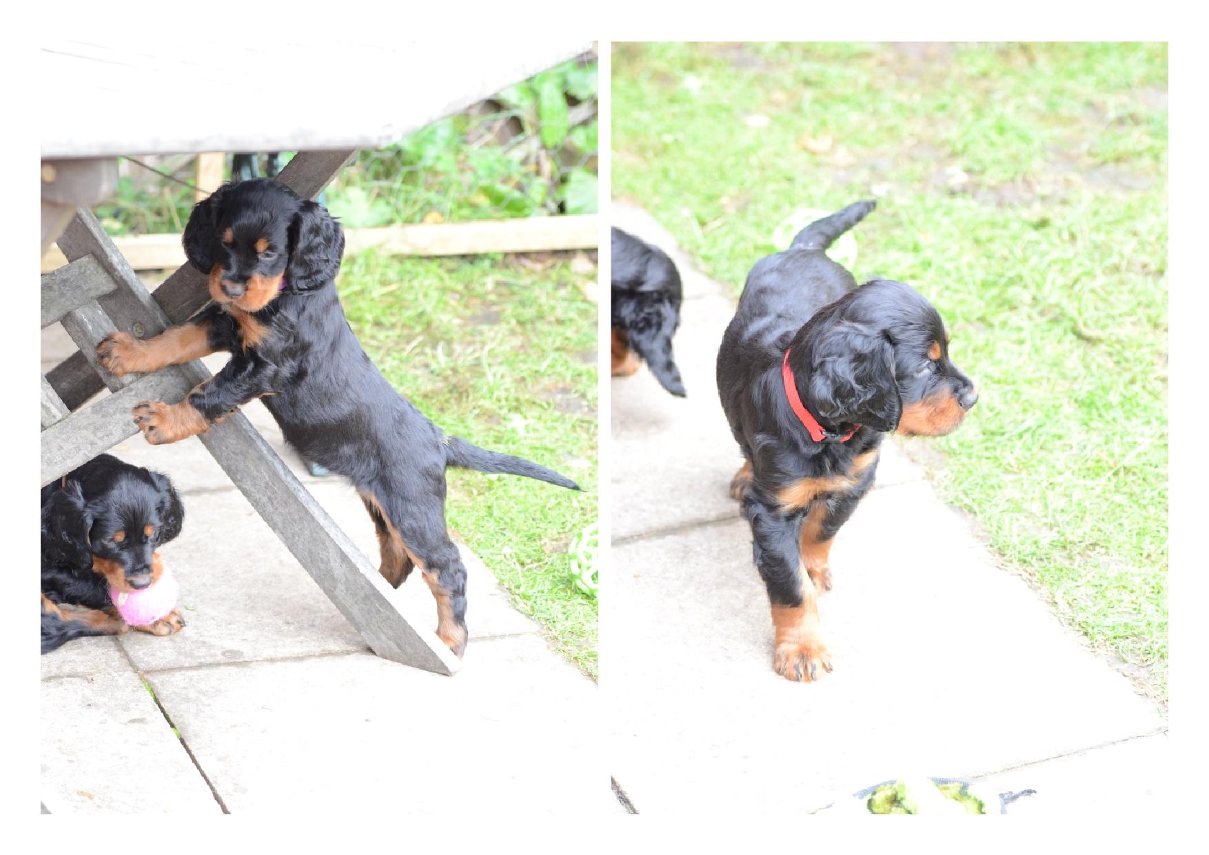 Puppies 4 Oct 2014 3 - Lainnireach Gundogs