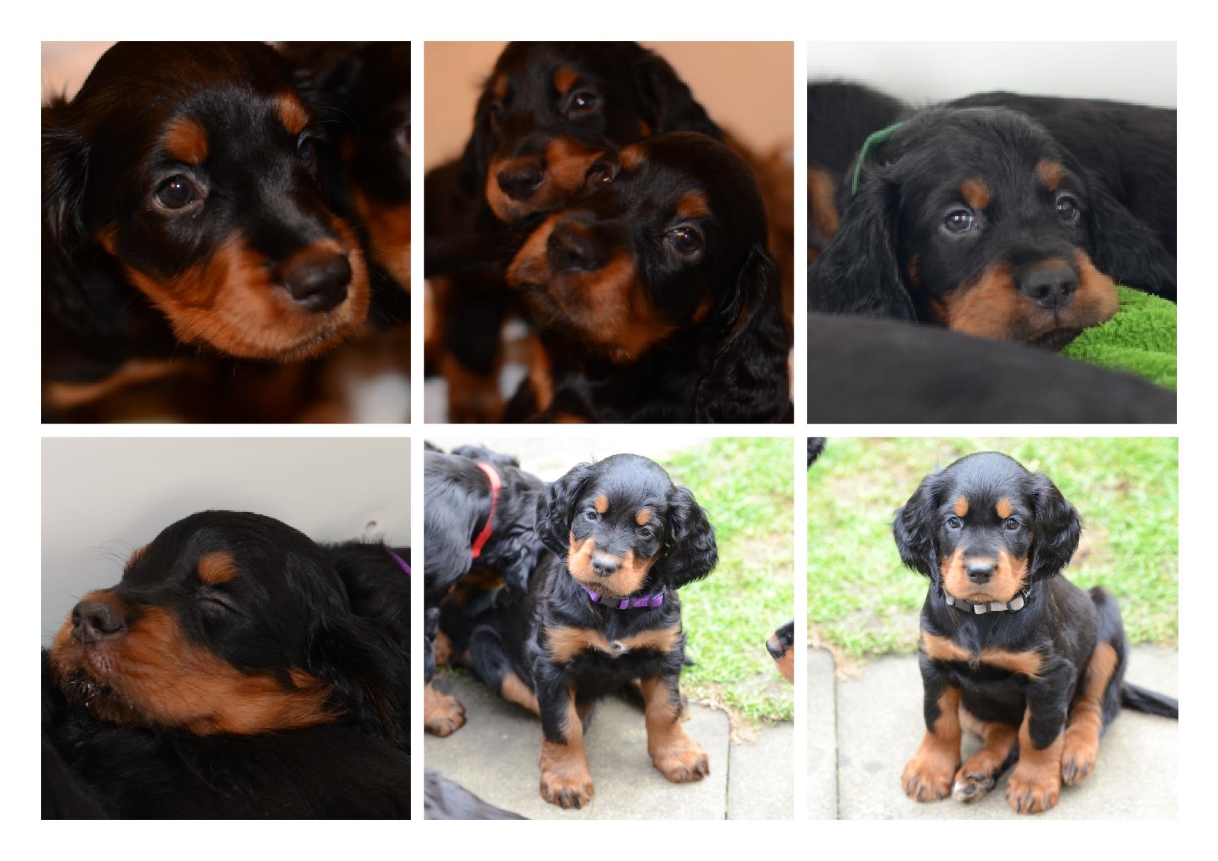 09e6c4ac4 Puppies 4 Oct 2014.4 - Lainnireach Gundogs