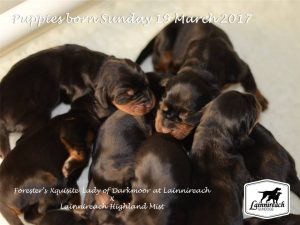 Lainnireach Puppies 2017